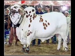 Cattle Eid Business