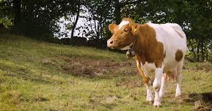 Cattle Eid Business Business