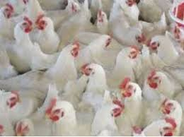 Poultry Farm Business Business